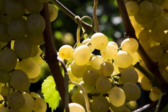 Gli acini dell'uva catalanesca