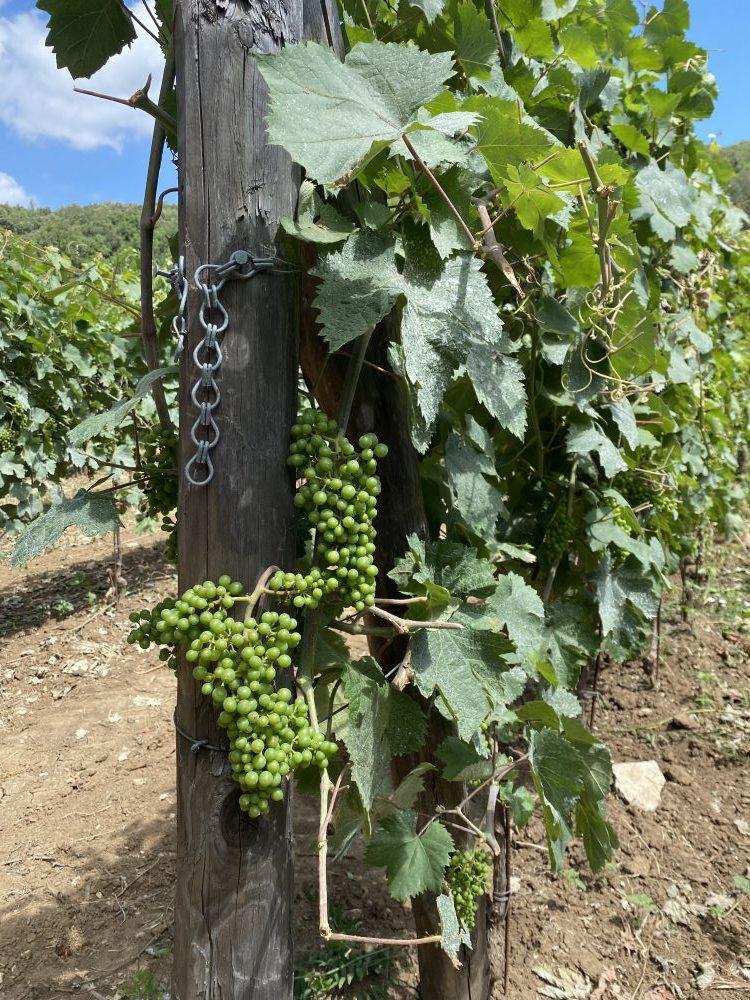 Vigna di San Silvestro - uva Pallagrello nero