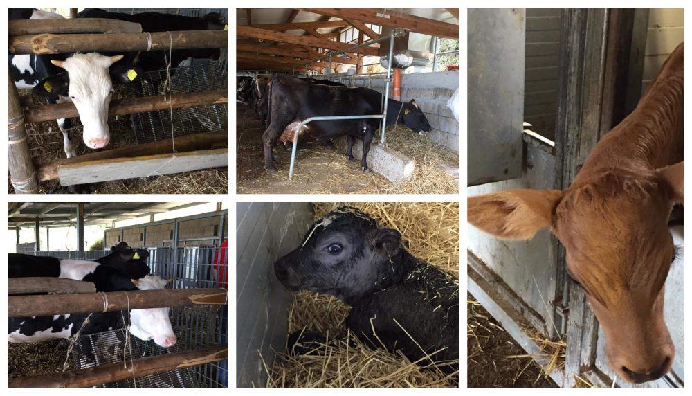 Il Turuziello - mucche