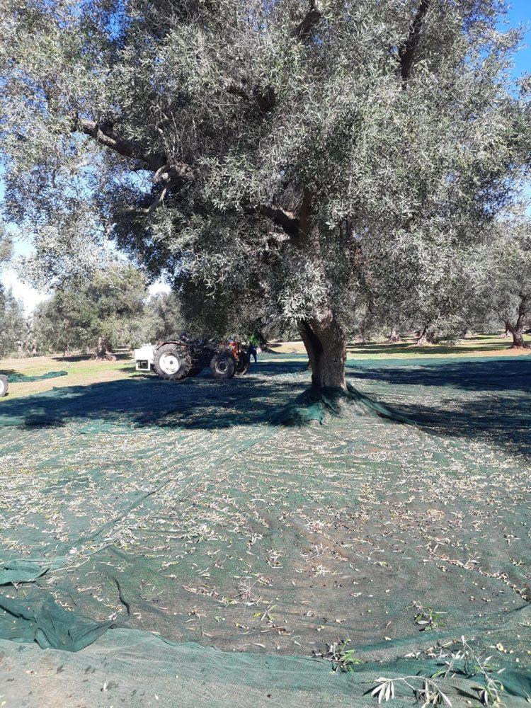 Raccolta Azienda Agricola Olio Febo