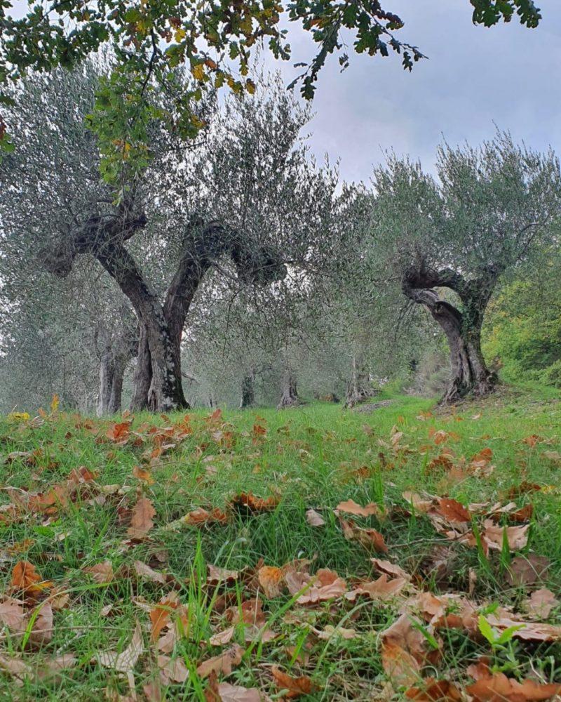 Ulivi in autunno - Olio Carpineto