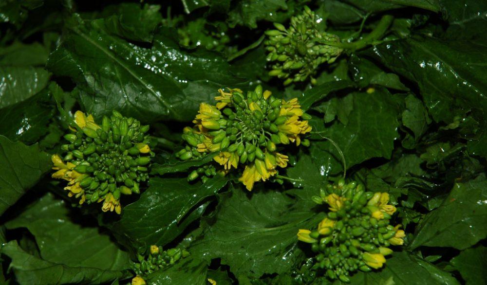 Broccolo friariello di Napoli - Assessorato Agricoltura Regione Campania